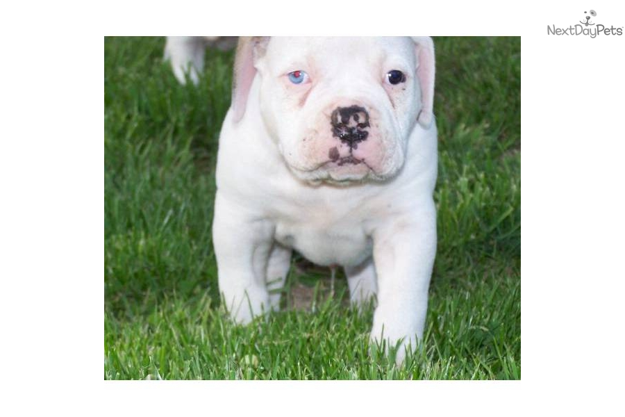 blue american bulldog puppies blue american bulldog puppies for sale 6992