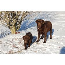 View full profile for Tree Line Labradors