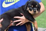 Picture of  Ready Now!! Champion Sire and Dam AKC Rottweiler