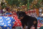 Picture of Champion Sire and Dam AKC Rottweiler Puppy