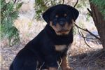 Picture of  AKC Registered Male Rottweiler