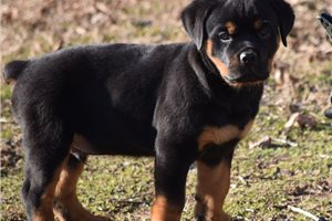 Thor | Puppy at 9 weeks of age for sale