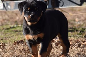 AKC Roxie | Puppy at 14 weeks of age for sale