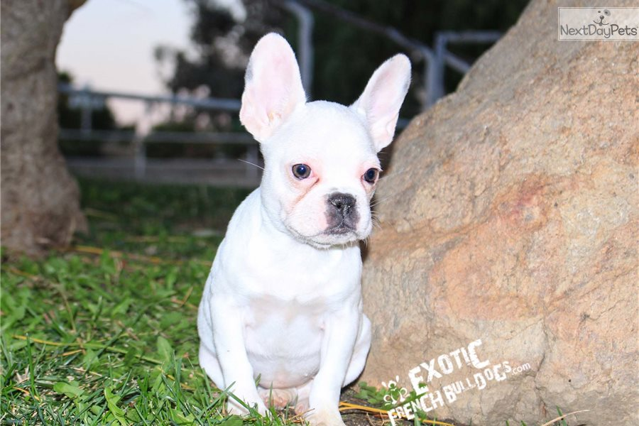 Cali: French Bulldog puppy for sale near Inland Empire ...