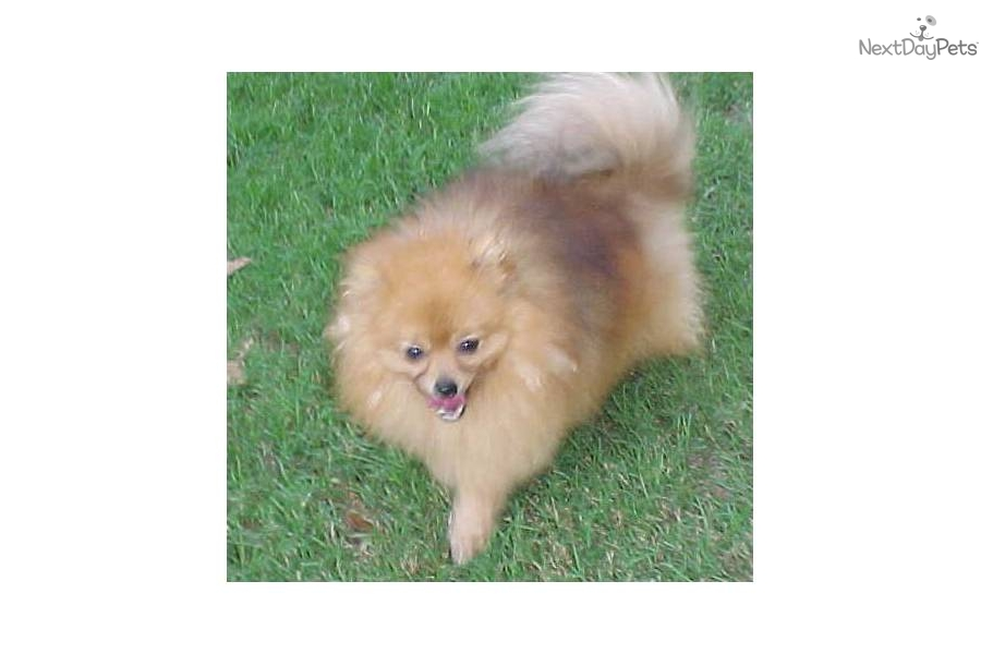 pomeranian oklahoma pomeranian puppy for sale near oklahoma city oklahoma 8296