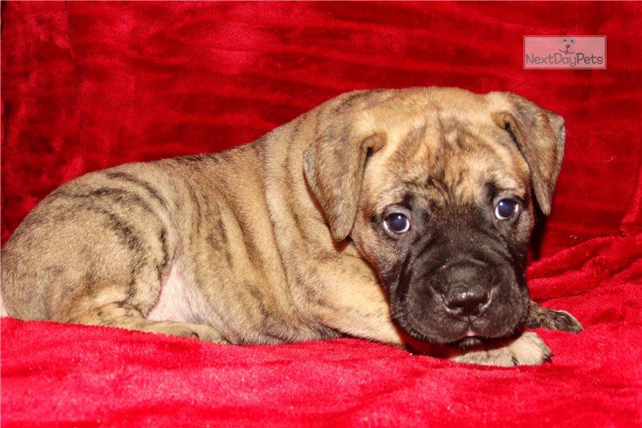 Puppyfinder.com: Bullmastiff puppies puppies for sale near Montana USA