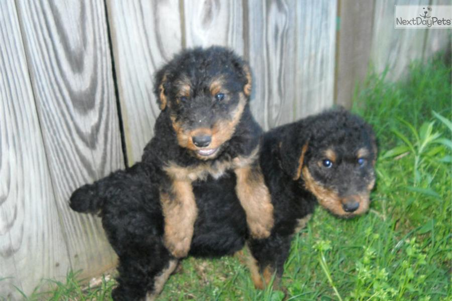 Airedale Terrier puppy for sale near Tulsa, Oklahoma ...