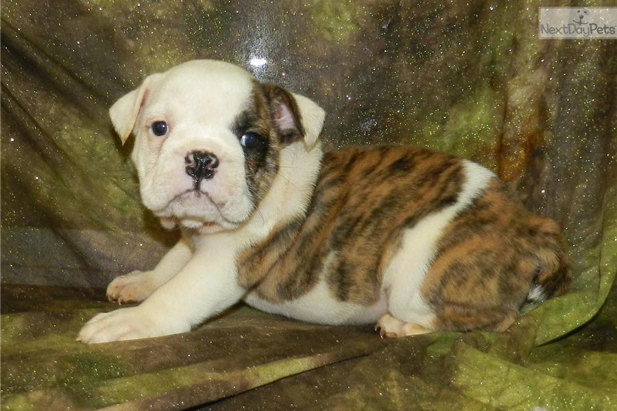 bulldog haven meet haven 4 a cute bulldog puppy for sale for 1 800 2082