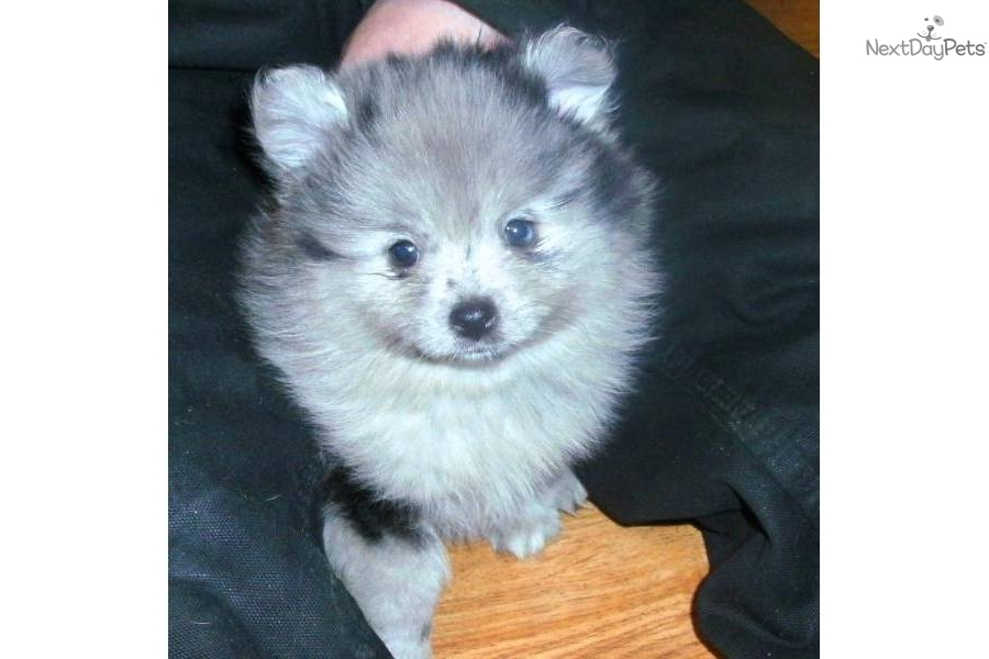pomeranian breeders in tn pomeranian for sale for 900 near clarksville tennessee 6725