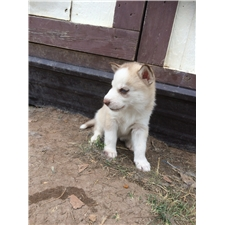 View full profile for Southwest Siberian Husky