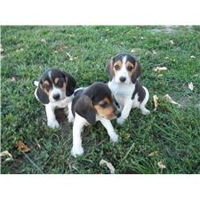 View full profile for Walnut Ridge Beagles