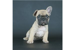 Picture of AKC Fawn Male