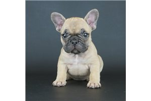 Picture of AKC Fawn Female