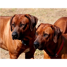 View full profile for Masai's Pride Ridgebacks