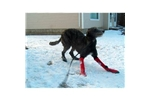 Picture of a Scottish Deerhound Puppy