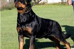 Picture of H LITTER VOM HAUSE FRANETA-SIRED BY WORLD CHAMPION
