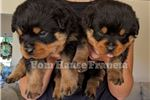 Picture of Christmas puppies sired by Y. IFR World Champion