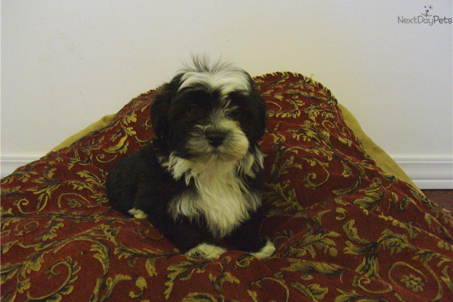 Havanese Puppy For Adoption Near Tallahassee Florida