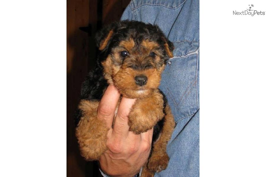 Puppies For Sale From Welsh Terrier Puppies Member Since