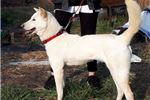 Picture of White Jindo Female, imported in 2019