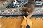 Picture of 7 weeks old Red/Tan female Jindo pup, microchipped