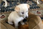 Picture of 7 weeks old male White Jindo pup, micro-chipped