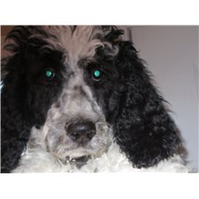 View full profile for Bireley Poodles / Burleigh Inn Poodles