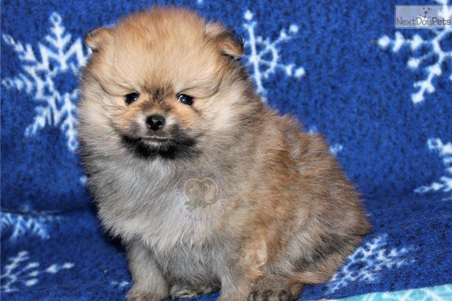 Polly: Pomeranian puppy for sale near Springfield ...