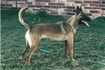 Picture of Pandy ~ Nice Trained Female Malinois