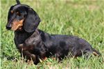 Smooth Dachshunds for sale