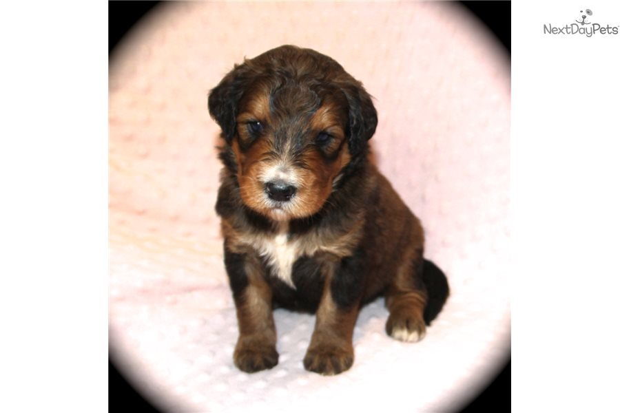 Harley Bernedoodle Puppy For Sale Near Dallas Fort Worth