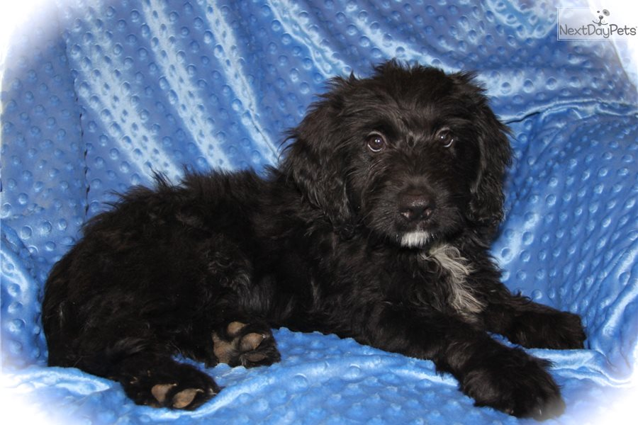 Charcoal Bernedoodle Puppy For Sale Near Dallas Fort