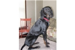Picture of a Black and Tan Coonhound Puppy