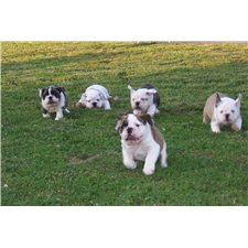 View full profile for Kelly's English Bulldogs