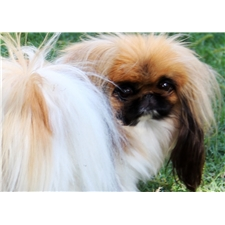 View full profile for Pecan Grove Pekingese