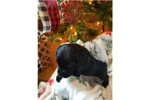 English Cocker Spaniels for sale