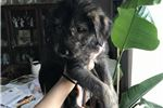 Picture of Pretty Irish Wolfhound Girl puppy