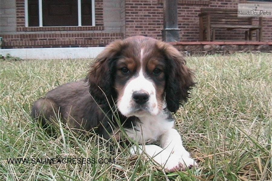 English Springer Spaniel puppy for sale near St Louis