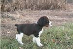 Picture of This is waylon. liver/wht tri color male