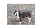 Featured Breeder of English Springer Spaniels with Puppies For Sale