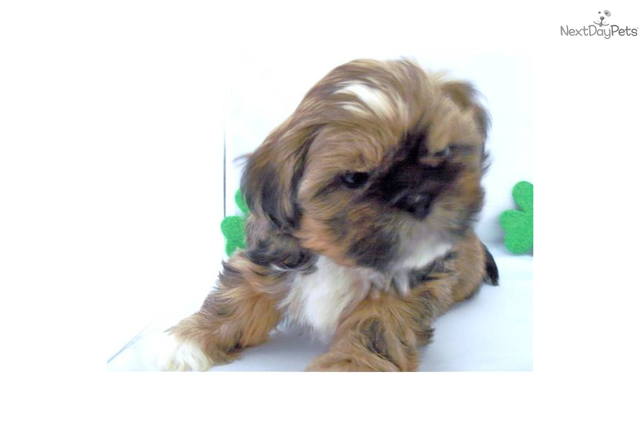 shih tzu breeders in tennessee shih tzu for sale for 300 near knoxville tennessee 593