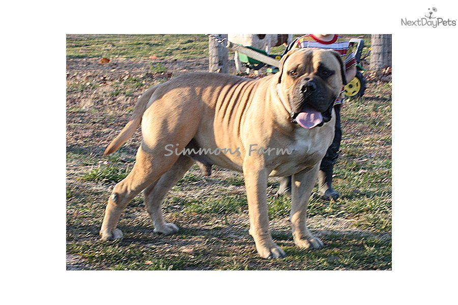 Bullmastiff Full Grown Growth Of Pictures