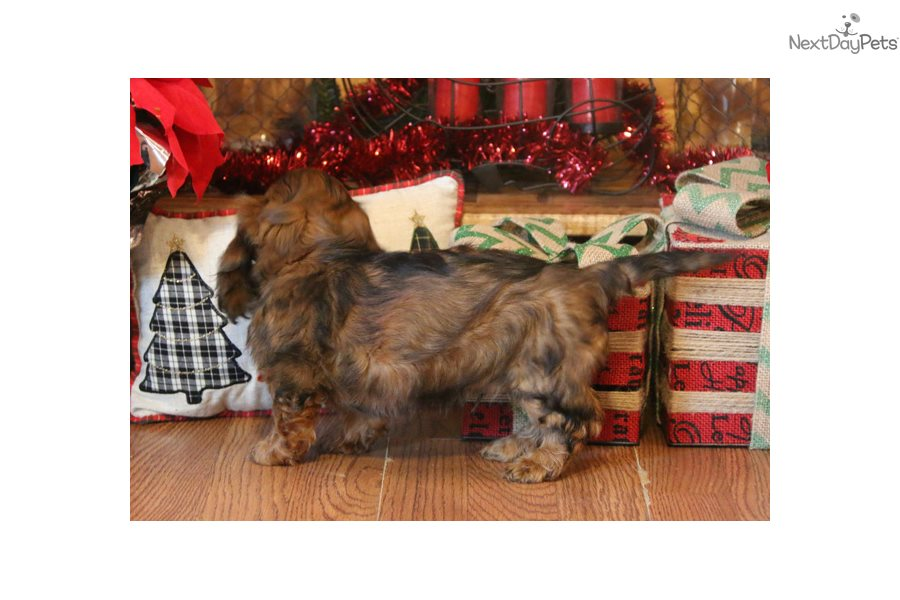 Buster Dachshund Mini Puppy For Sale Near Springfield Missouri
