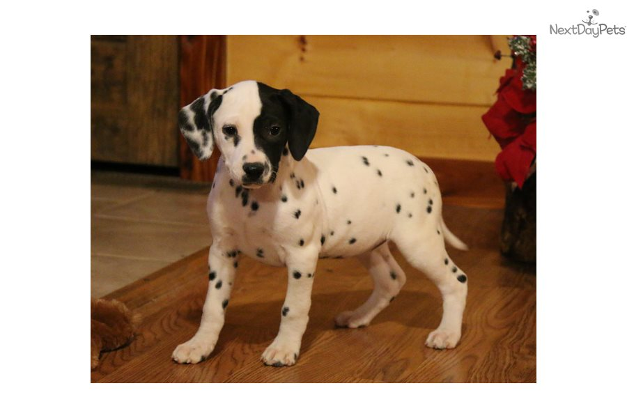 Patches Dalmatian Puppy For Sale Near Springfield Missouri