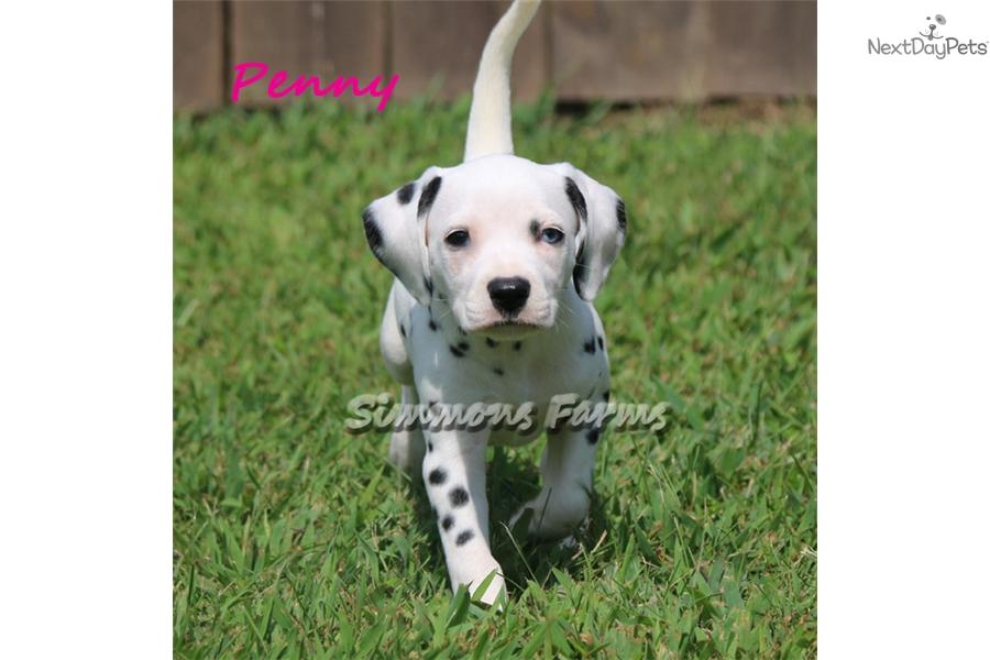 Penny Dalmatian Puppy For Sale Near Springfield Missouri