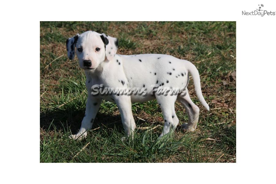 Dottie Dalmatian Puppy For Sale Near Springfield Missouri