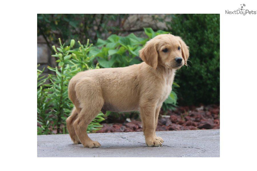 Gavin: Golden Retriever puppy for sale near Springfield