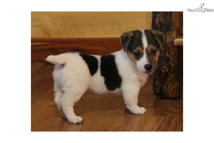 Jackson: Jack Russell Terrier puppy for sale near Springfield