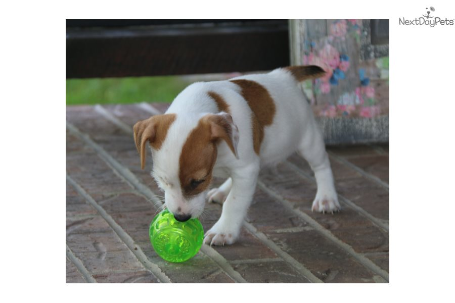 Dash: Jack Russell Terrier puppy for sale near Springfield