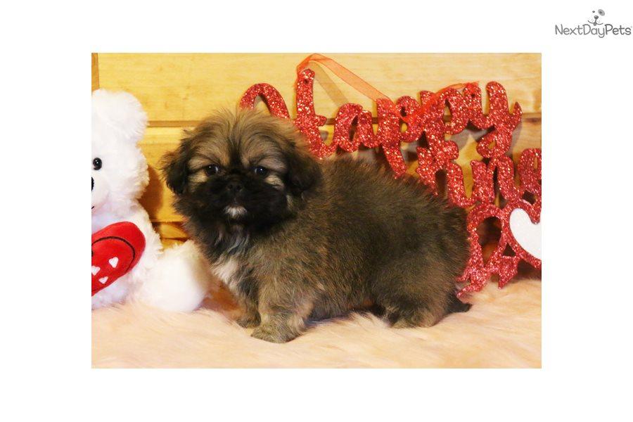 Rusty: Pekingese puppy for sale near Springfield, Missouri USA